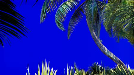 betrügen : Branches of a palm tree and a tropical plant in the wind on a blue screen. Beautiful summer looped background.