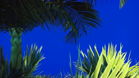 exotismo : Branches of a palm tree and a tropical plant in the wind on a blue screen. Beautiful summer looped background.