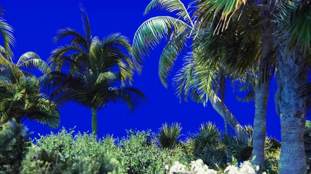 экзотичность : Branches of a palm tree and a tropical plant in the wind on a blue screen. Beautiful summer looped background.