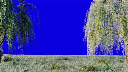 söğüt : Branches with green leaves of weeping willow and leaves fluttering in the wind in front of a blue screen. Looped realistic 3D animation.