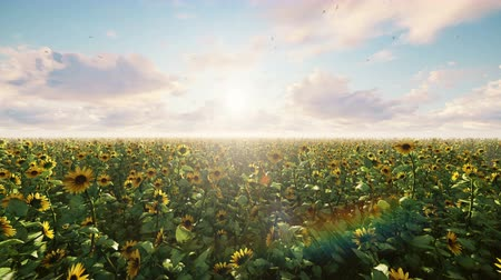 подсолнухи : Beautiful Sunflowers in the field at sunrise. Field with sunflowers, butterflies and insects in summer.