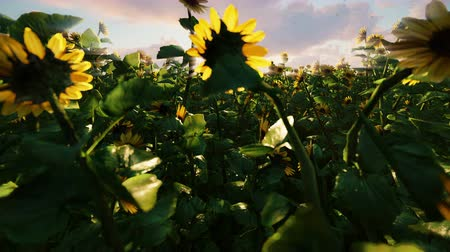 nasiona : Beautiful Sunflowers in the field at sunrise. Field with sunflowers, butterflies and insects in spring.