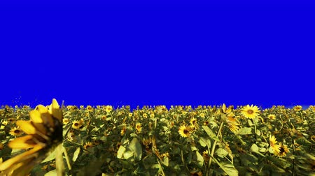 sunflower seed : Beautiful Sunflowers in the field at sunrise. Field with sunflowers, butterflies and insects in summer in front of a blue screen.