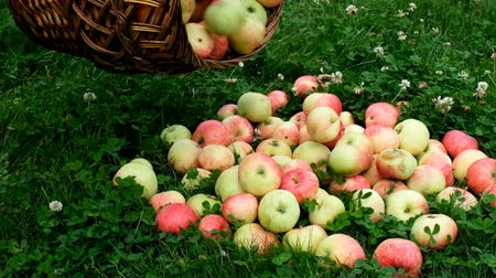 disperso : Red apples are scattered across the grass from a wooden basket in slow motion.