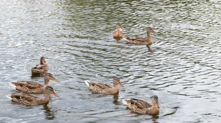 Ducks on the pond, ducks with ducklings swim in the water, clean their feathers. Wild animals, beautiful ducks eat bread and Duckweed, birds swim in the pond. Slow motion.