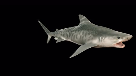 school of shark : A large shark swims under water with a wide open mouth full of sharp dangerous teeth. 3d animation with alpha channel.