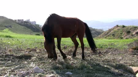 friesian : Handsome brown horse eating grass