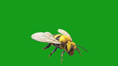 méh : Honey bee motion graphics with green screen background Stock mozgókép