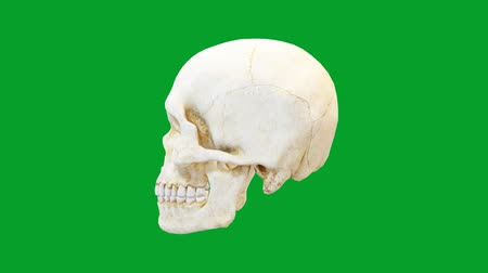 Rotating human skull motion graphics with green screen background