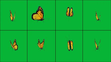 Fluttering butterfly in different positions with green screen background