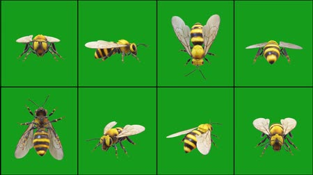 Honey bee in different positions with green screen background Vídeos