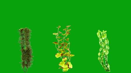 Underwater plants motion graphics with green screen background 3