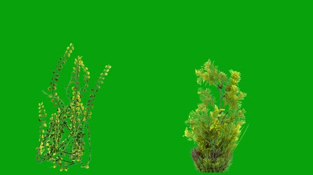 Underwater plants motion graphics with green screen background