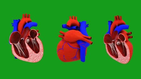 Bisectional view of working heart with green screen background