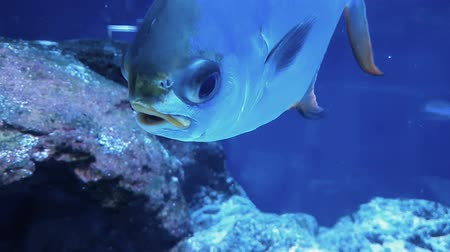 mořská voda : Interesting footage of a tropical reef fish close up.