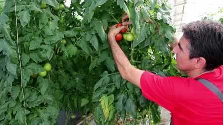 feltörés : Farmer Checking His Tomato Crop in Greenhouse