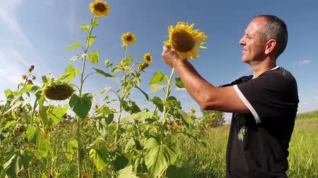 girassóis : Agriculturist looking sunflower head and checking the quality of grain
