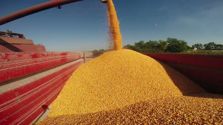 kombájn : Maize grains freshly harvested and unloaded to transport trailer. HD1080p.