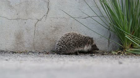 еж : walking  three month old hedgehog baby,  selective focus