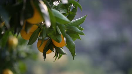 beslenme : close up of an orange tree, selective focus Stok Video