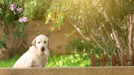 лабрадор : white senior labrador dog in the garden, looking and leaving his position, selective focus