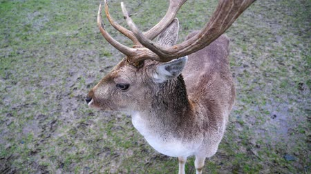 paroh : Male Fallow Deer Buck with Antlers