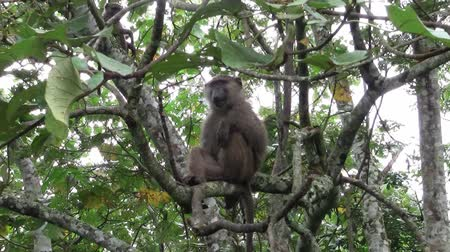 baboon : A Wild Baboon Sitting on the Branch of a Tall Tree with Leaves and Foliage in Uganda, Africa