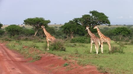 Three Tall Giraffes Walking Around in a Grass Plain in Uganda with Trees in the Background Stock Footage
