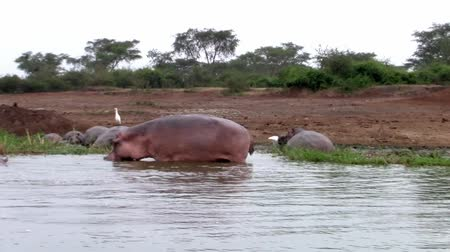 nílus : Hippos in the Water at the Riverbank in Uganda in their Natural Habitat