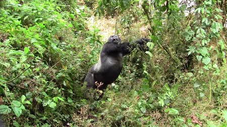gorillas : Large, Impressive Male Silverback Gorilla Stretching in the Green Jungle of Bwindi Impenetrable Forest in Uganda, East Africa