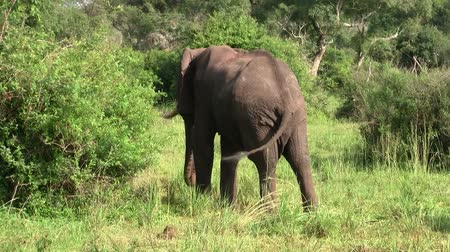 at kuyruğu : A Large Grey Elephant with Ivory Tusks from Behind in the Green Vegetation of the Bush in Uganda Stok Video