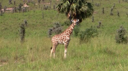 zsiráf : One Single Tall Giraffe Standing in a Green Grass Plain in the Wilderness in Uganda, Africa Stock mozgókép