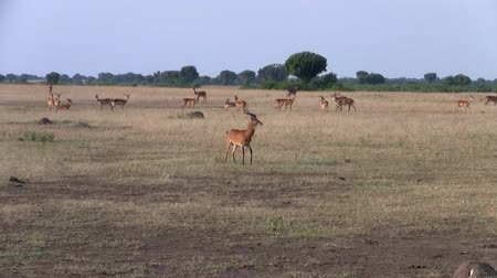 antilop : A Herd of Impala Antelopes Grazing in the Dry Savannah Plain in Uganda, East Africa