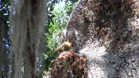 Zooming Out from a Cute and Funny Squirrel Sitting in a Tree and Eating a Cone