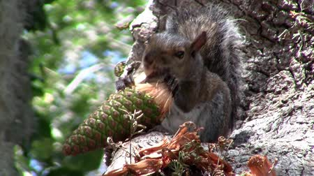 wiewiórka : A Cute and Funny Brown and Grey Squirrel Sitting in the Tree and Eating a Pine Cone