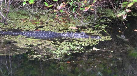 Alligator Swimming through Swamp in the Everglades in Florida Stock Footage