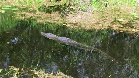 Alligator Swimming through the Calm, Dark Swamp With Plants of the Everglades in Florida, United States. A Dangerous Reptile of an Endangered Species.