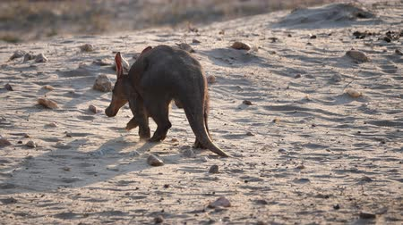 Aardvark or Ant-Eater Walking Away in Sandy Savanna in Namibia, Africa, From Behind Stock Footage