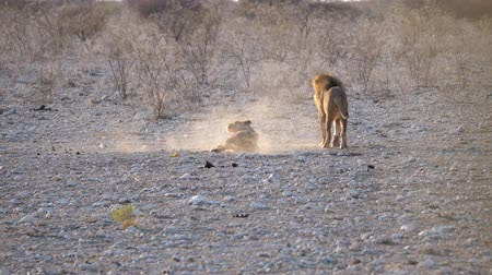 savana : Lion Mating with Lioness, Male and Female Breeding in Etosha National Park, Namibia