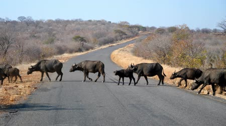 buvol : Large Buffalo Herd Crossing a Tarmac Road in Botswana, Africa