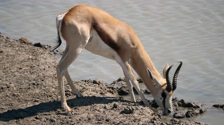 namibya : Springbok Antelope Drinking at a Waterhole in Etosha National Park, Namibia Stok Video