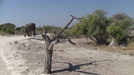Намибия : Elephant Walking in Etosha Pan National Park Landscape with Dry Tree and Plain