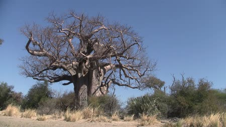 Mighty Baobab Tree in Dry Season the Caprivi Strip in Namibia, Africa Stock Footage