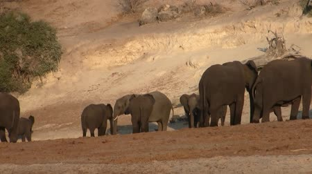 Elephant Herd on the Banks of River Chobe in Chobe National Park, Botswana, in the Evening