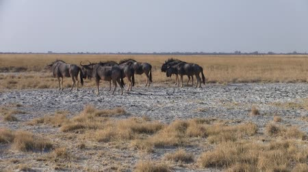 poros : Herd of Blue Wildebeest Grazing and Walking on the Grass Plain of the Sowa Pan, Makgadikgadi Salt Pans, Botswana
