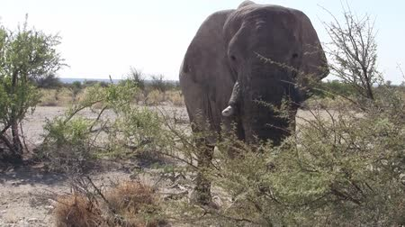 tusk : Impressive Elephant Bull Close Up in the Bush in Etosha National Park, Namibia, Africa Stock Footage