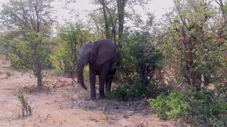 Young, Small Elephant Shaking its Head in the Bush, Moremi Game Reserve, Okavango Delta, Botswana, Africa Stock Footage
