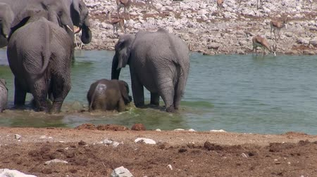 закалки : Elephant Family with Small Baby Elephant Bathing at Okaukuejo Waterhole, Etosha National Park, Namibia, Africa