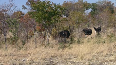 Three Ostriches Walking in the Savanna in Caprivi Strip, Namibia, Africa