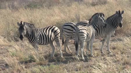 namibya : Four Zebras Standing in Dry Grass in the Sowa Pan, Makgadikgadi Pans National Park, Botswana, Africa Stok Video